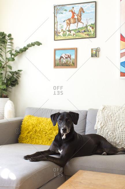 Watchful dog lying on corner sofa