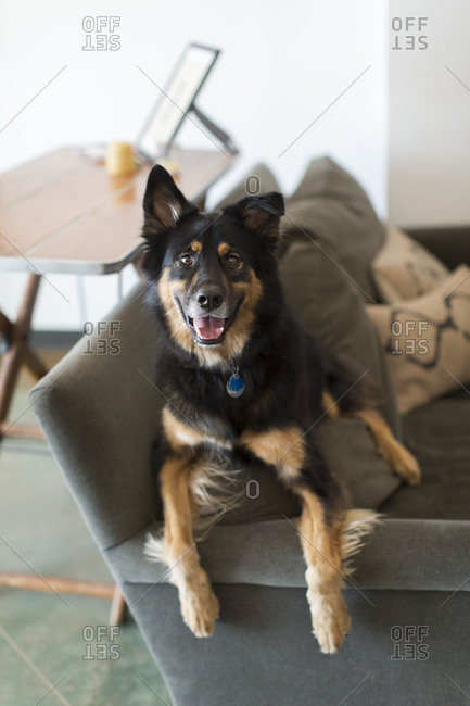 Watchful dog lying on a couch