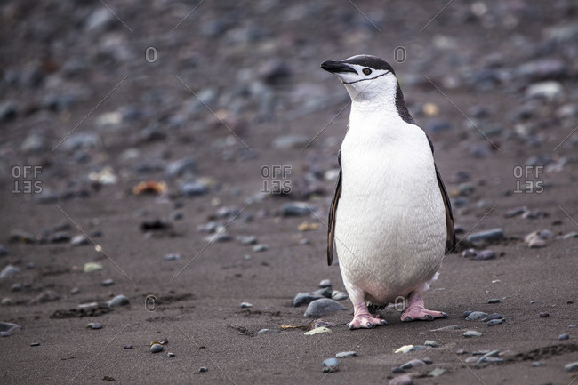 Close up of a Chinstrap Penguin in Antarctica