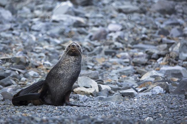Close up of Sea Lion in Antarctica