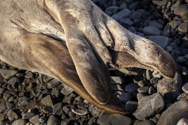 The tail of a Weddell Seal in Antarctica