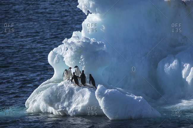 Adelie Penguins on a floating iceberg in Antarctica