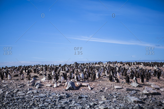 Colony of Adelie Penguins in Antarctica