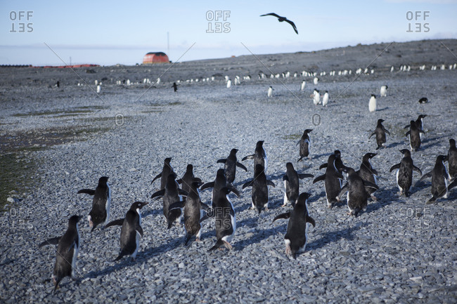 Group of Adelie penguins near the Esperanza Base in Antarctica