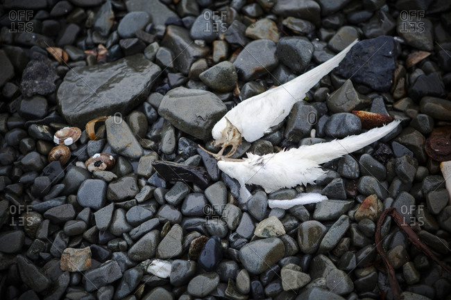 Detached wings of a white bird in Antarctica
