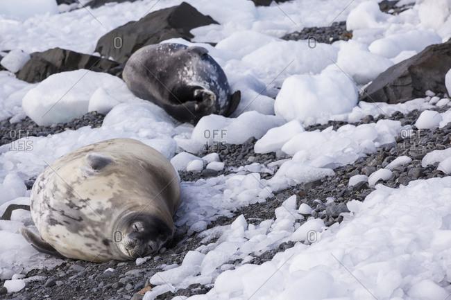 Weddell Seals lying in the snow in Antarctica
