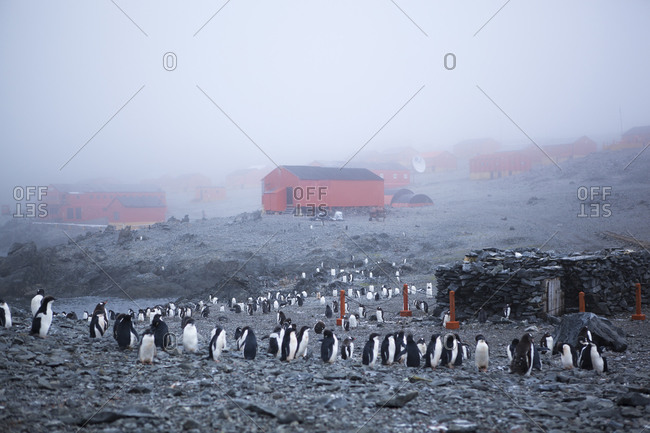 Adelie and Gentoo penguins on the Esperanza Base in Antarctica