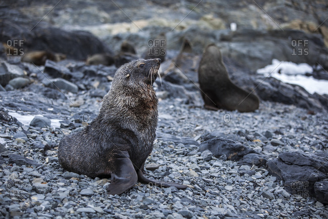 Antarctic fur seals on the shore in Antarctica