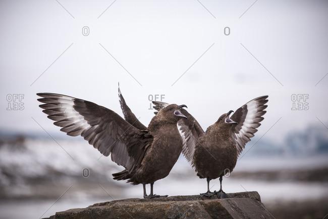 Brown skua birds spreading their wings in Antarctica