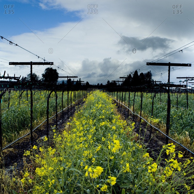 Row of yellow flowers in vineyard