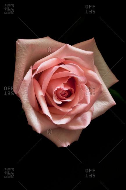 Pink rose on a black background