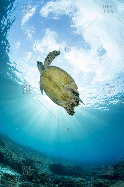 Crepuscular rays highlight a sea turtle