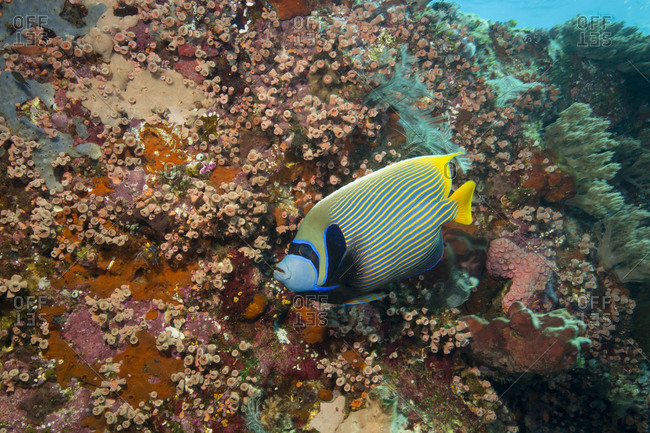 Emperor angelfish on a dive site known as Crystal Rock