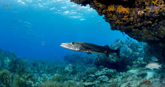 Solitary barracuda under an overhang at Fire Coral Cave divesite