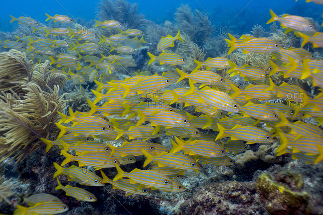 Marine sanctuaries promote protection of marine life, such as these Smallmouth grunts