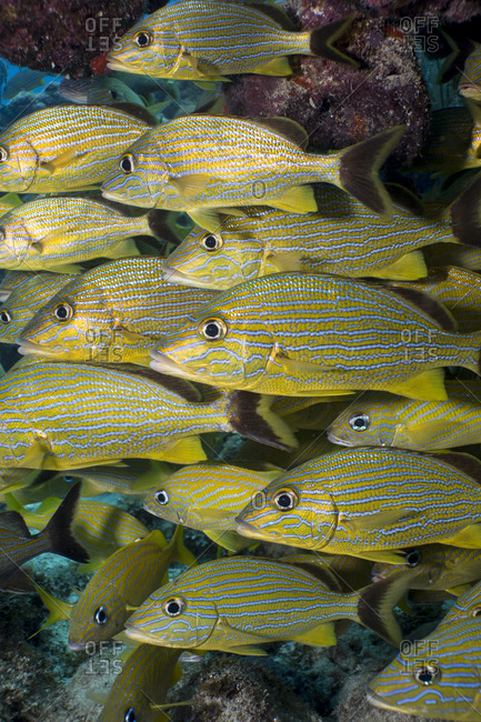 School of Blue- striped grunts hover near a coral overhang