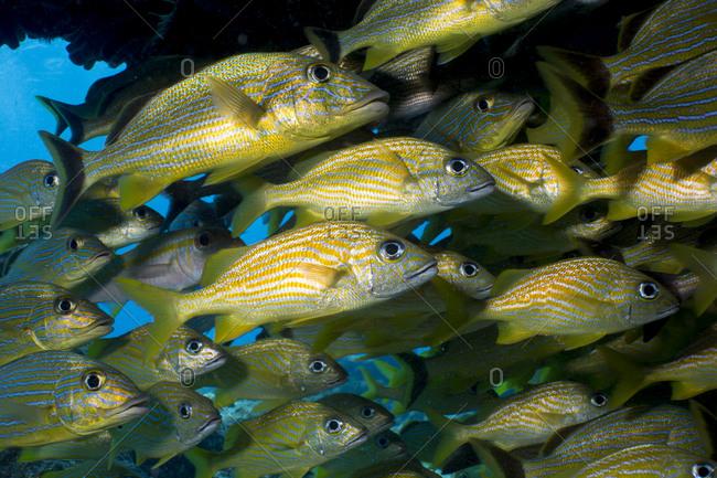 Dense school of fish under a coral arch