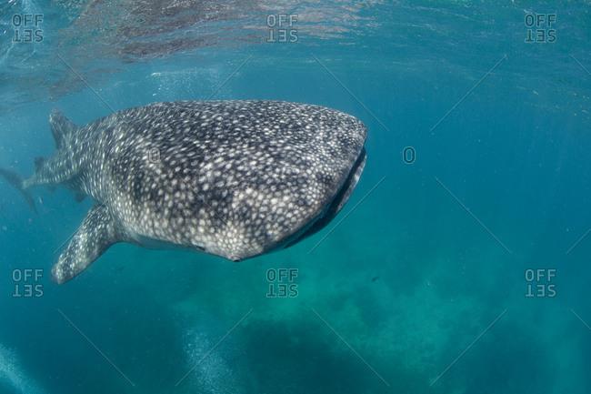 Whale shark snorkel encounter at village of Oslob, on the island of Cebu, Philippines