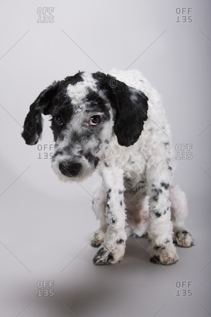 A black and white Portuguese Water Dog with his head hung in shame