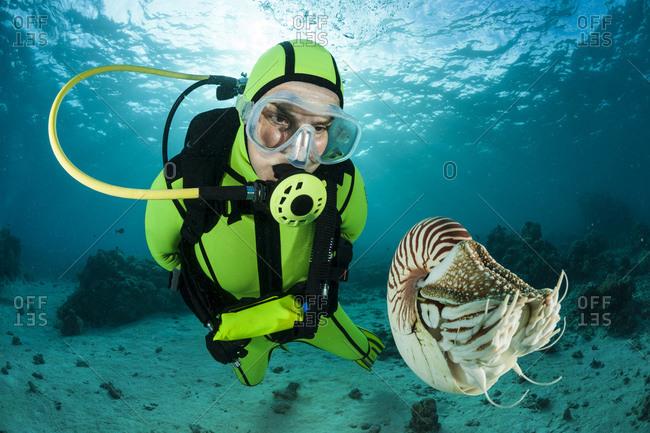 Diver watching Palau nautilus, Nautilus belauensis, in Pacific Ocean
