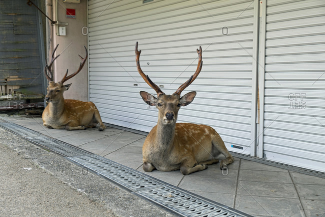 Fallow bucks resting in front of a shop