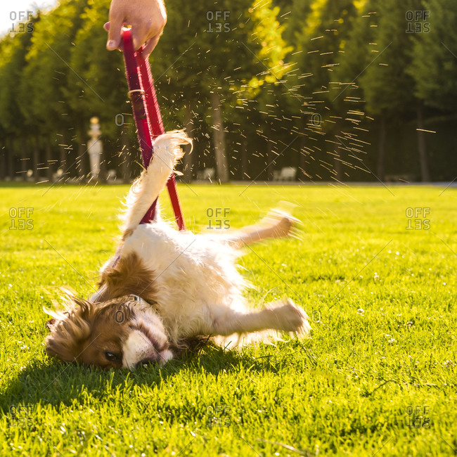 Dog, Canis lupus familiaris, rolling around on a meadow while his owner holding the lead