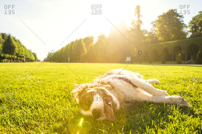 Dog, Canis lupus familiaris, lying on a meadow