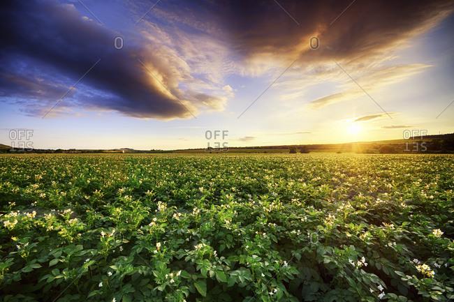 Sunset over potato field
