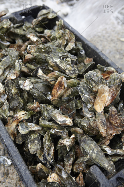 Heap of fresh oysters