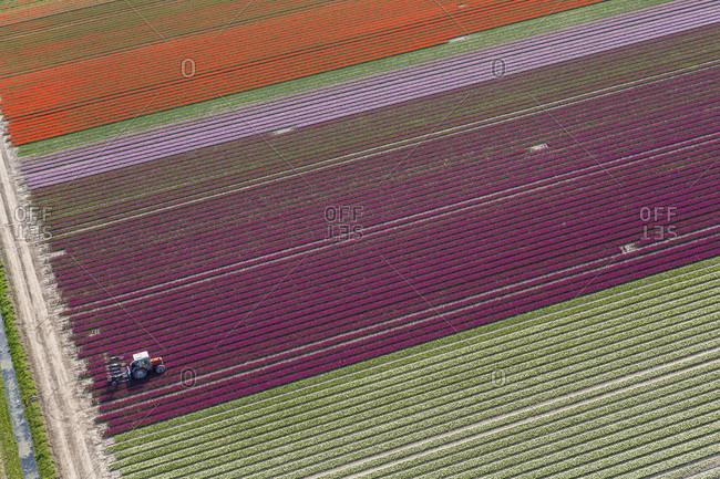 Tulip fields, North Holland, Netherlands