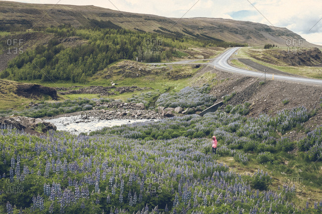 Woman standing in field of lupines, Iceland