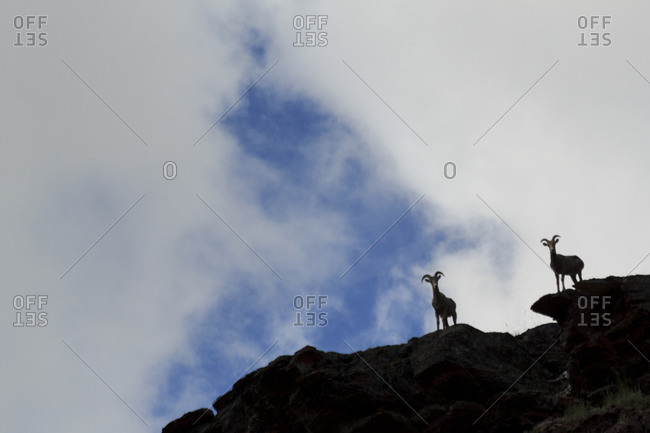 Two curious mountain bighorn sheep