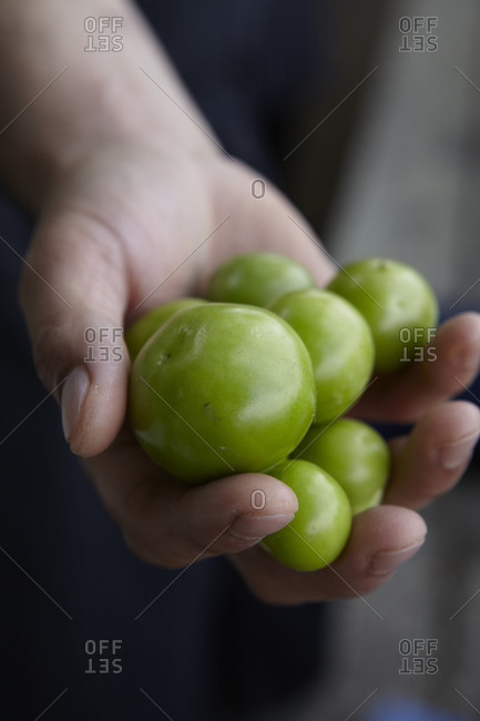 Close up of person holding green tomatoes