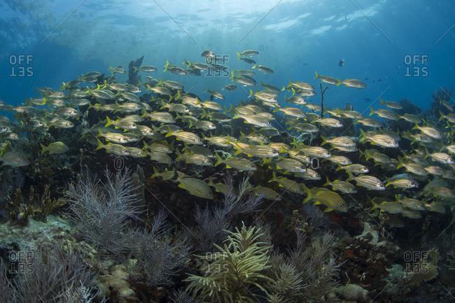 Smallmouth grunts (Haemulon chrysargyreum) school atop a coral reef in Key Largo, Florida.