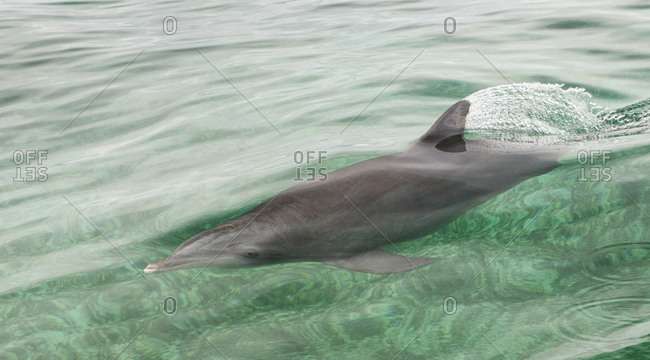 Atlantic bottlenose dolphin at the ocean's surface