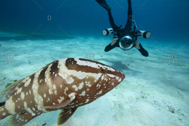 Photographer takes pictures of a sociable Nassau Grouper
