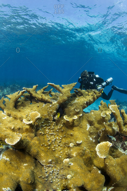 Female technical diver wearing a rebreather investigates the reefs of Key Largo