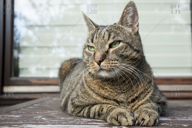 Portrait of European Shorthair relaxing on balcony table