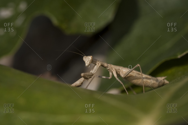 Praying mantis, Mantis religiosa, on leaf