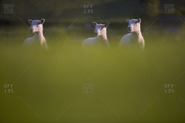 Dartmoor sheep near Holne