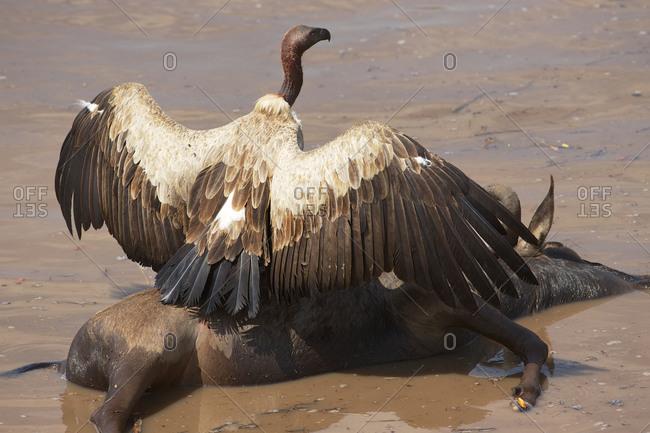 Vulture feeding on a dead wildebeest