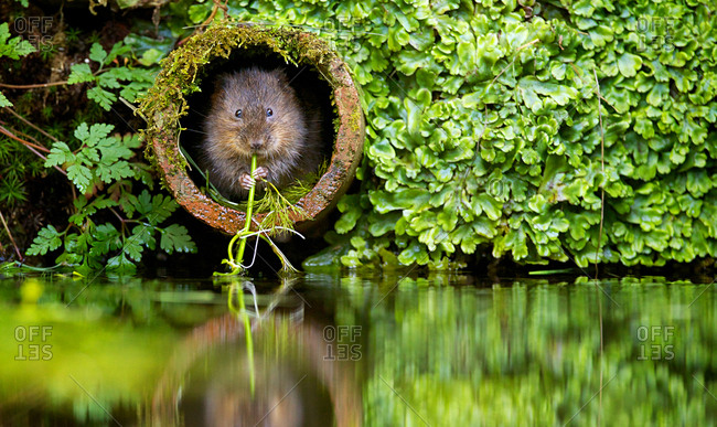 Water vole chewing on a plant