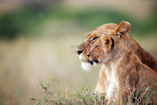 Profile of watchful lioness and cub in the savanna