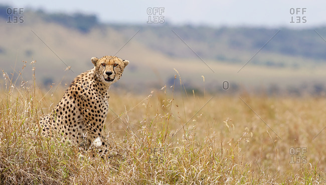 Watchful cheetah in the grass