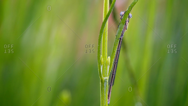 Close up of a damselfly on the stalk of a plant