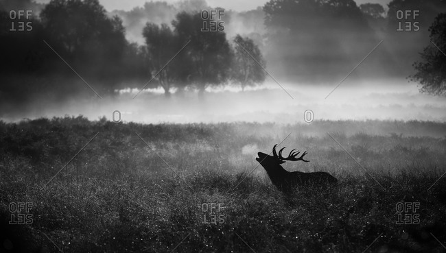 Silhouette of a bellowing stag