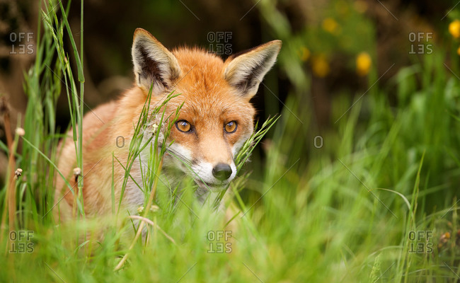 Close up of a red fox hunting in the grass