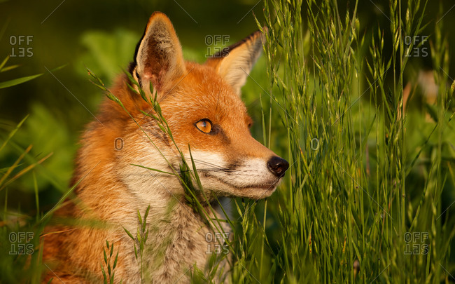 Close up of a red fox in the grass