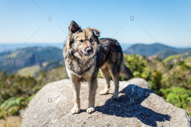 Dog standing on a rock on top of a mountain in Goncalves, Brazil