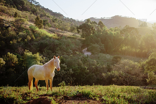 White horse standing in a pasture in Goncalves, Brazil
